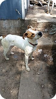 English Pointer Mix Dog for adoption in Manhasset, New York - Rosie