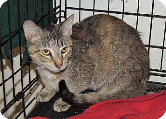 Domestic Shorthair Cat for adoption in Westville, Indiana - Rafee