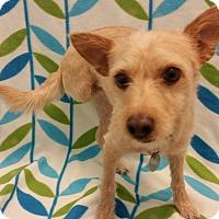Adopt A Pet :: Beckham - Higley, AZ