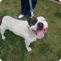 Pit Bull Terrier Dog for adoption in Midway City, California - Meathead