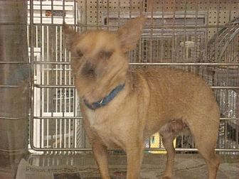 Chihuahua Dog for adoption in Tonopah, Arizona - tinker