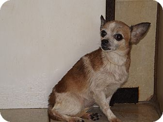Chihuahua Mix Dog for adoption in Thomaston, Georgia - Babs