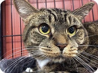 Domestic Shorthair Cat for adoption in Wilmington, Delaware - Gracie