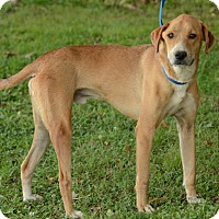 Adopt A Pet :: Chase - Charlemont, MA