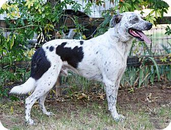 English Springer Spaniel Mix Dog for adoption in Grand Prairie, Texas - Splash