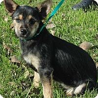 Adopt A Pet :: Trouble - springtown, TX