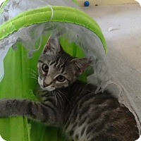 Adopt A Pet :: Misty -Adoption Pending! - Colmar, PA