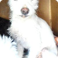 Adopt A Pet :: Bobby-ADOPTION PENDING - Boulder, CO