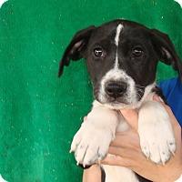 Adopt A Pet :: Georgia - Oviedo, FL