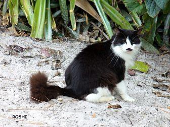Domestic Longhair Cat for adoption in Bonita Springs, Florida - Roshi