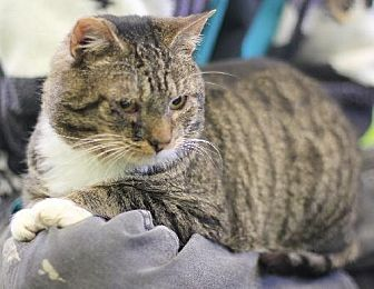 Domestic Shorthair Cat for adoption in Lovingston, Virginia - Dexter