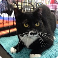 Domestic Shorthair Cat for adoption in North Plainfield, New Jersey - Bette