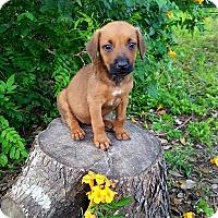 Adopt A Pet :: Abby - Leming, TX