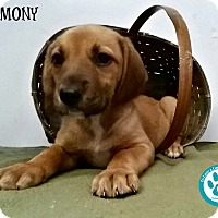 Adopt A Pet :: Harmony - Kimberton, PA