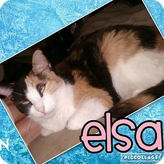 Domestic Shorthair Cat for adoption in Scottsdale, Arizona - Elsa