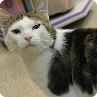 Domestic Shorthair Cat for adoption in Medina, Ohio - Randy
