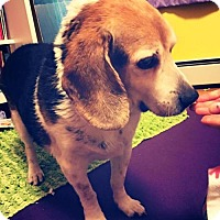 Beagle Dog for adoption in Baltimore, Maryland - Sammy 2.0