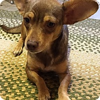 Dachshund/Chihuahua Mix Puppy for adoption in Portland, Oregon - JENNY