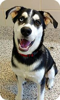 Siberian Husky Mix Dog for adoption in Aiken, South Carolina - Ghost