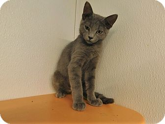 Domestic Shorthair Kitten for adoption in Lake Panasoffkee, Florida - Noe