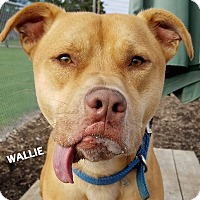 American Staffordshire Terrier/Labrador Retriever Mix Dog for adoption in Lapeer, Michigan - Wallie