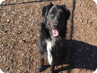Australian Shepherd Mix Dog for adoption in Urbana, Illinois - BULLET