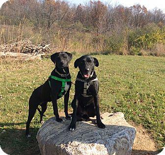 Labrador Retriever Mix Dog for adoption in Mechanicsburg, Ohio - Gabby