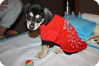 Labrador Retriever Mix Puppy for adoption in Brooklyn, New York - Berlin