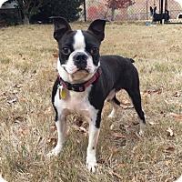 Boston Terrier Dog for adoption in Sterling, Massachusetts - PISTOL*adoption pending