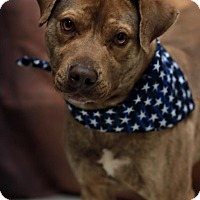 Pit Bull Terrier Mix Dog for adoption in Twin Falls, Idaho - Pepsi
