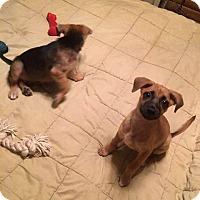Adopt A Pet :: Lola - Pittsburgh, PA