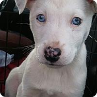 Adopt A Pet :: Sitka~adopted! - Glastonbury, CT