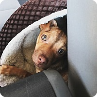 Adopt A Pet :: Cinnamon - Las Vegas, NV