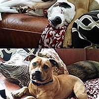 Adopt A Pet :: 3 Stooges Curly/Ramsey - Chantilly, VA