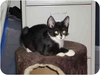 Domestic Shorthair Kitten for adoption in Boca Raton, Florida - Winnie