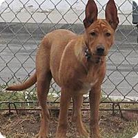 Adopt A Pet :: GINGER - Torrance, CA