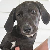 Adopt A Pet :: Luther - Brattleboro, VT