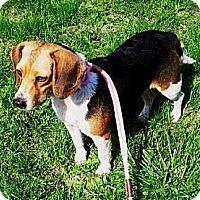 Adopt A Pet :: Candy - Novi, MI