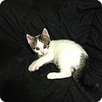 Adopt A Pet :: Patch - Acme, PA