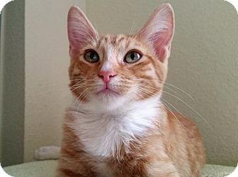 Domestic Shorthair Kitten for adoption in Mountain Center, California - Arpels