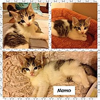 Adopt A Pet :: Nemo - Miami, FL