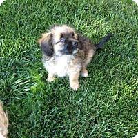 Adopt A Pet :: Sassy - Los Angeles, CA