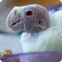 Adopt A Pet :: Beautiful - St. Louis, MO