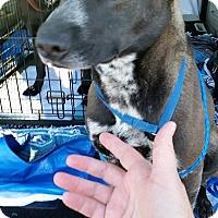 Adopt A Pet :: Eleanor - Boston, MA