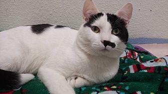 Domestic Shorthair Cat for adoption in Oakland, Oregon - Julius