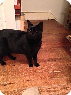Domestic Shorthair Cat for adoption in Philadelphia, Pennsylvania - Sansom