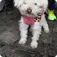 Adopt A Pet :: Kamikaze Kate - Los Angeles, CA