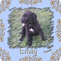 Adopt A Pet :: Emil-pending adoption - Manchester, CT