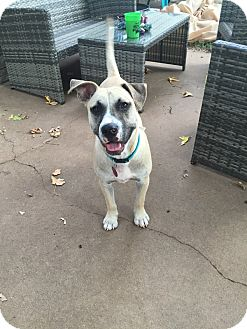 American Pit Bull Terrier/Labrador Retriever Mix Dog for adoption in oklahoma city, Oklahoma - Gabe