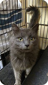 Domestic Longhair Cat for adoption in Durand, Wisconsin - Lucy